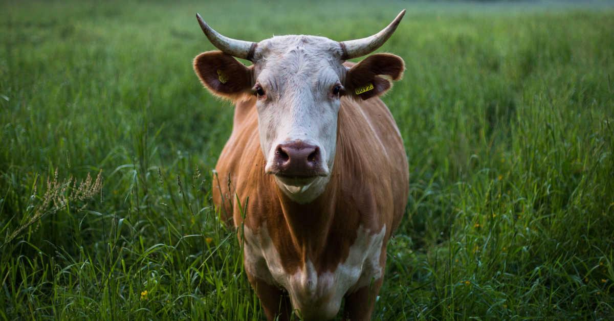 Cow in a green field
